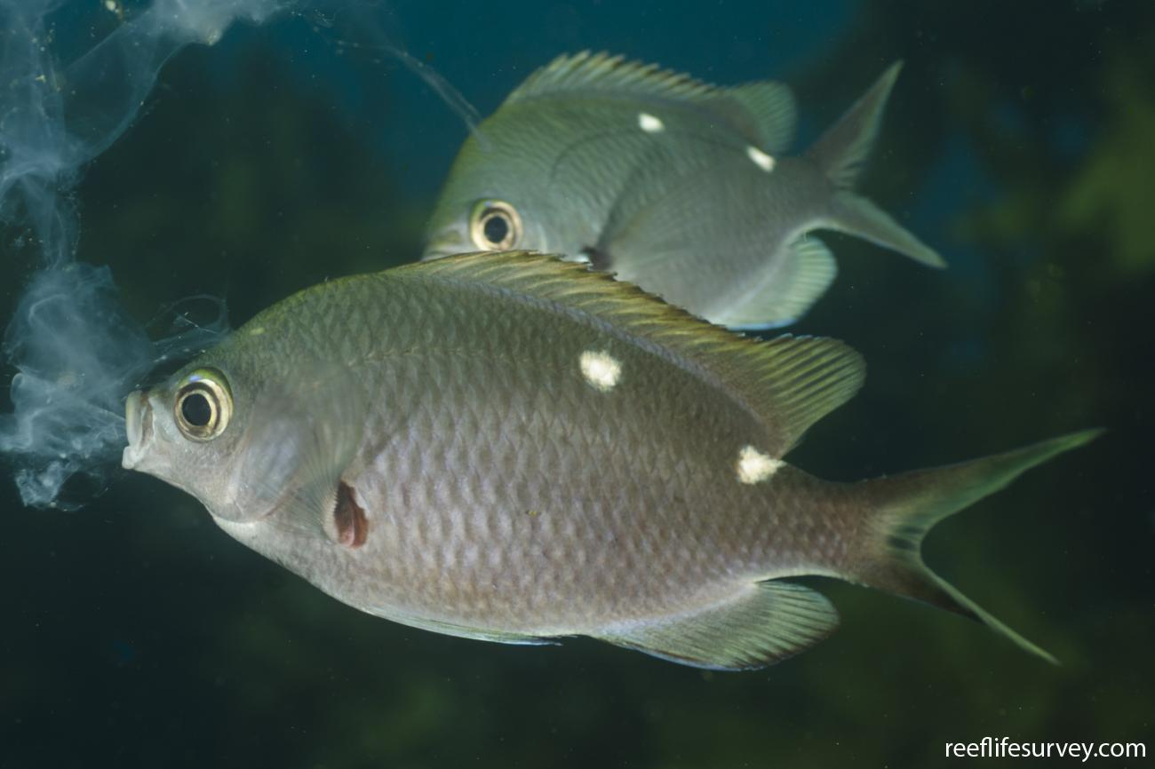 Chromis dispilus, Adult, Poor Knights Is, New Zealand,  Photo: Ian Shaw