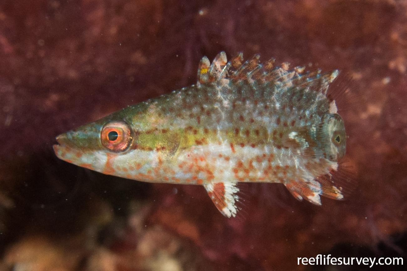 Oxycheilinus digrammus, Juvenile, QLD, Australia,  Photo: Rick Stuart-Smith