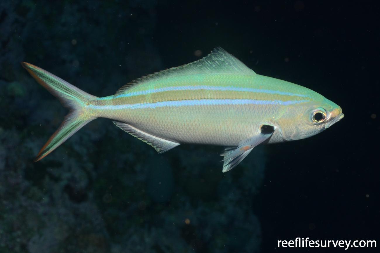 Caesio caerulaurea, (Night Phase) Flinders Reef, Coral Sea,
