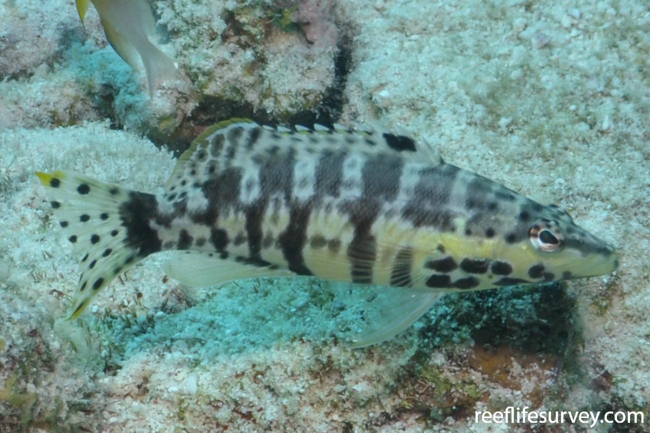 Serranus tigrinus, Bonaire,  Photo: Rick Stuart-Smith