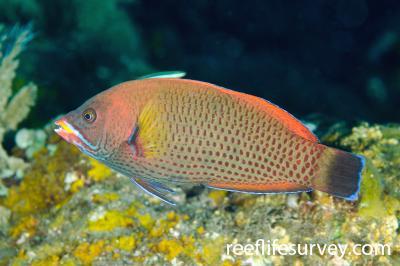 Pseudodax moluccanus: Adult, Bali, Indonesia,  Photo: Ian Shaw
