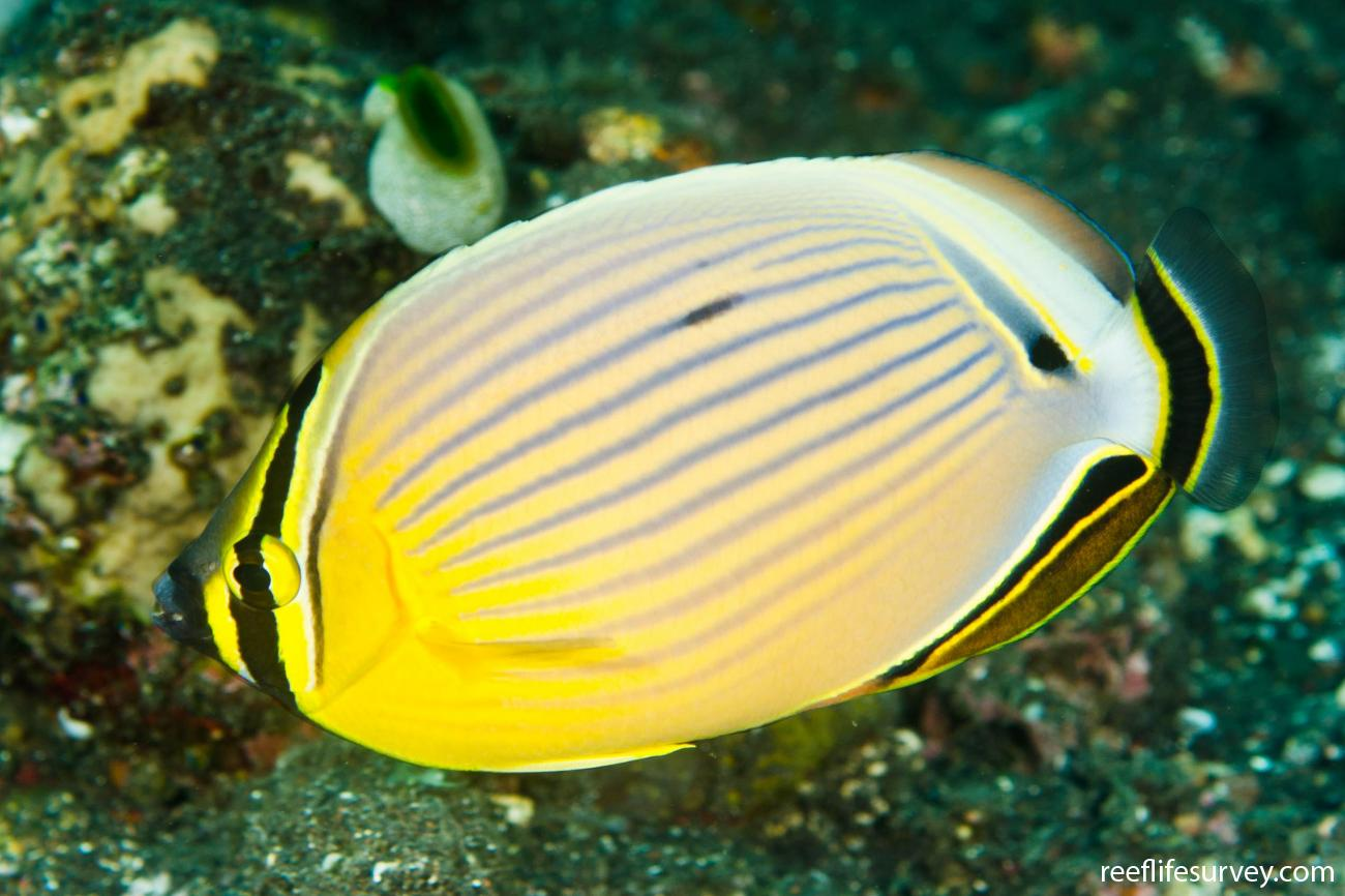 Chaetodon lunulatus, Adult, Bali, Indonesia,  Photo: Ian Shaw