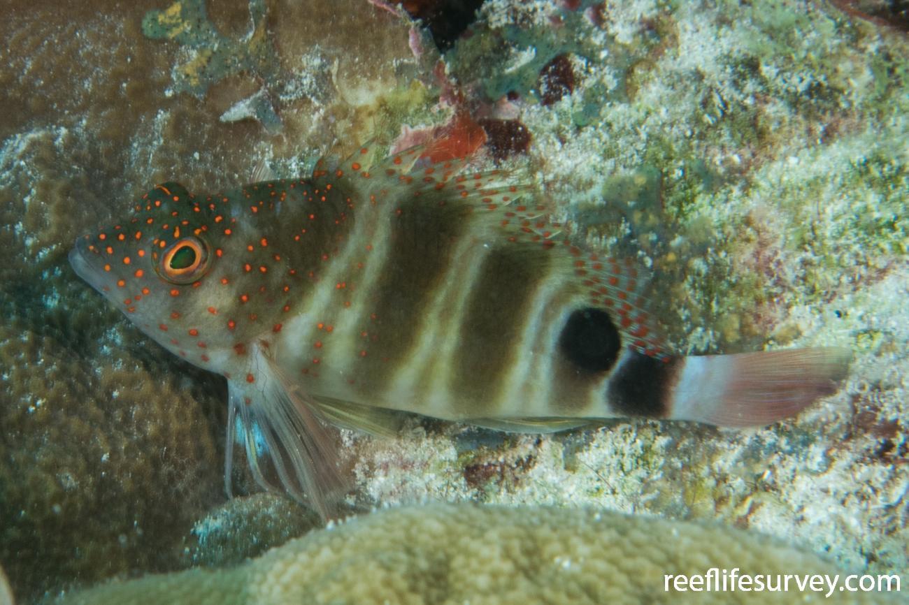 Amblycirrhitus pinos, Belize,  Photo: Rick Stuart-Smith