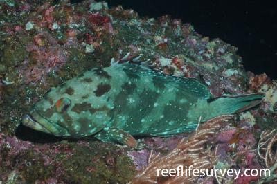 Epinephelus labriformis: Galapagos Islands, Ecuador,  Photo: Graham Edgar