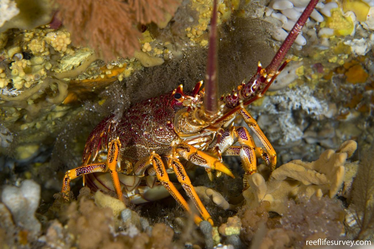 Jasus edwardsii, Tasman Peninsula, TAS,  Photo: Andrew Green