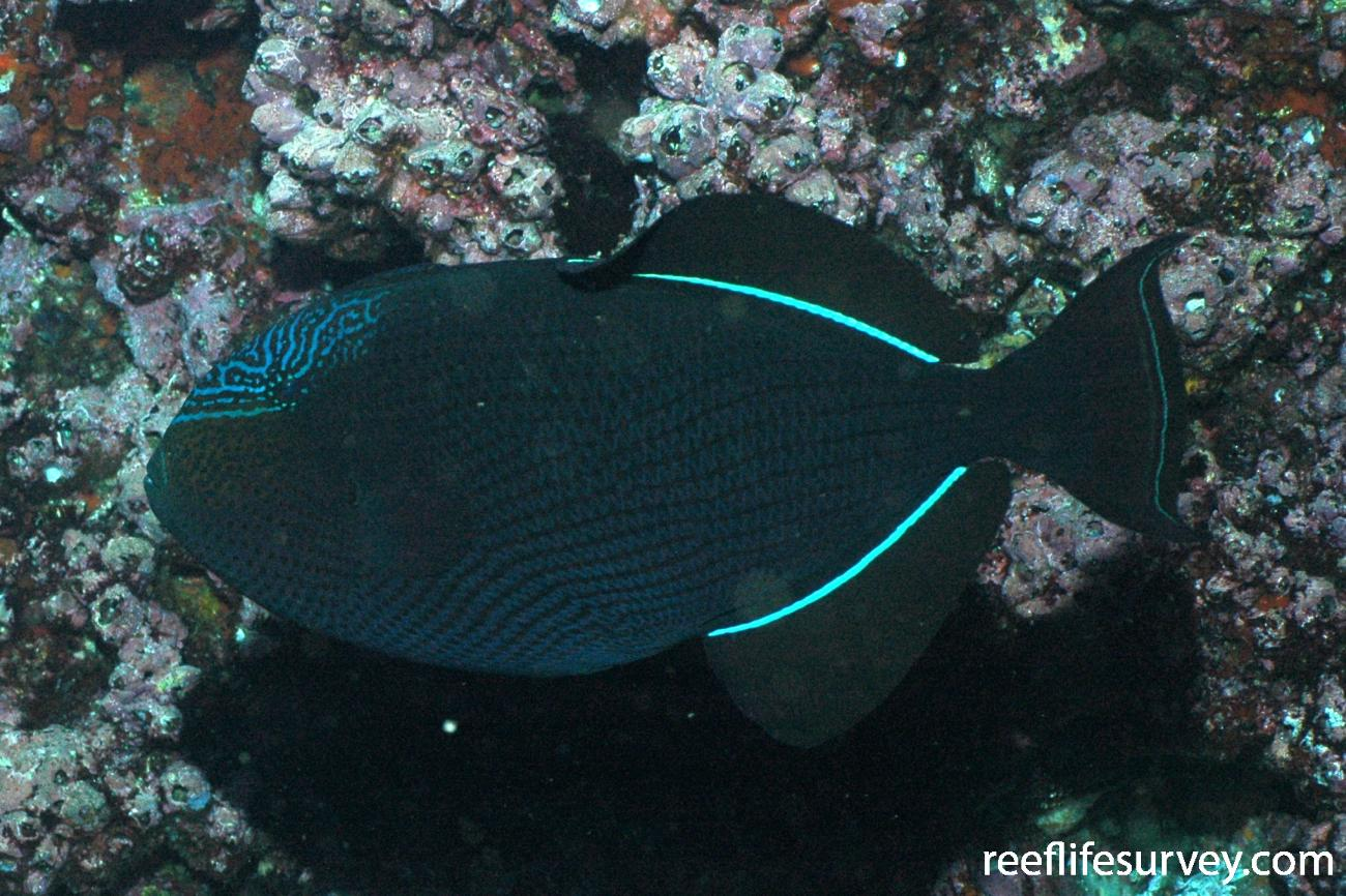 Melichthys niger, Wolf, Galapagos,  Photo: Graham Edgar