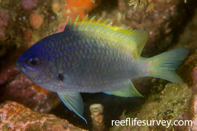 Chromis limbaughi: Gulf of California, Mexico,  Photo: Rick Stuart-Smith