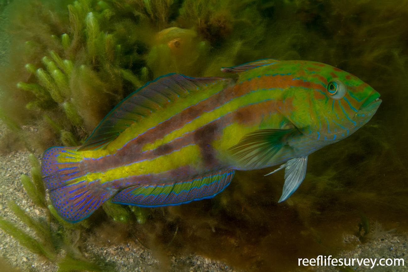 Pictilabrus laticlavius, Male, Hobart, TAS,  Photo: Rick Stuart-Smith
