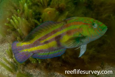 Pictilabrus laticlavius: Male, Hobart, TAS,  Photo: Rick Stuart-Smith
