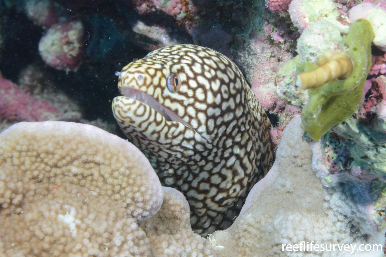 Gymnothorax meleagris, Kenn Reef, Coral Sea,  Photo: Rick Stuart-Smith