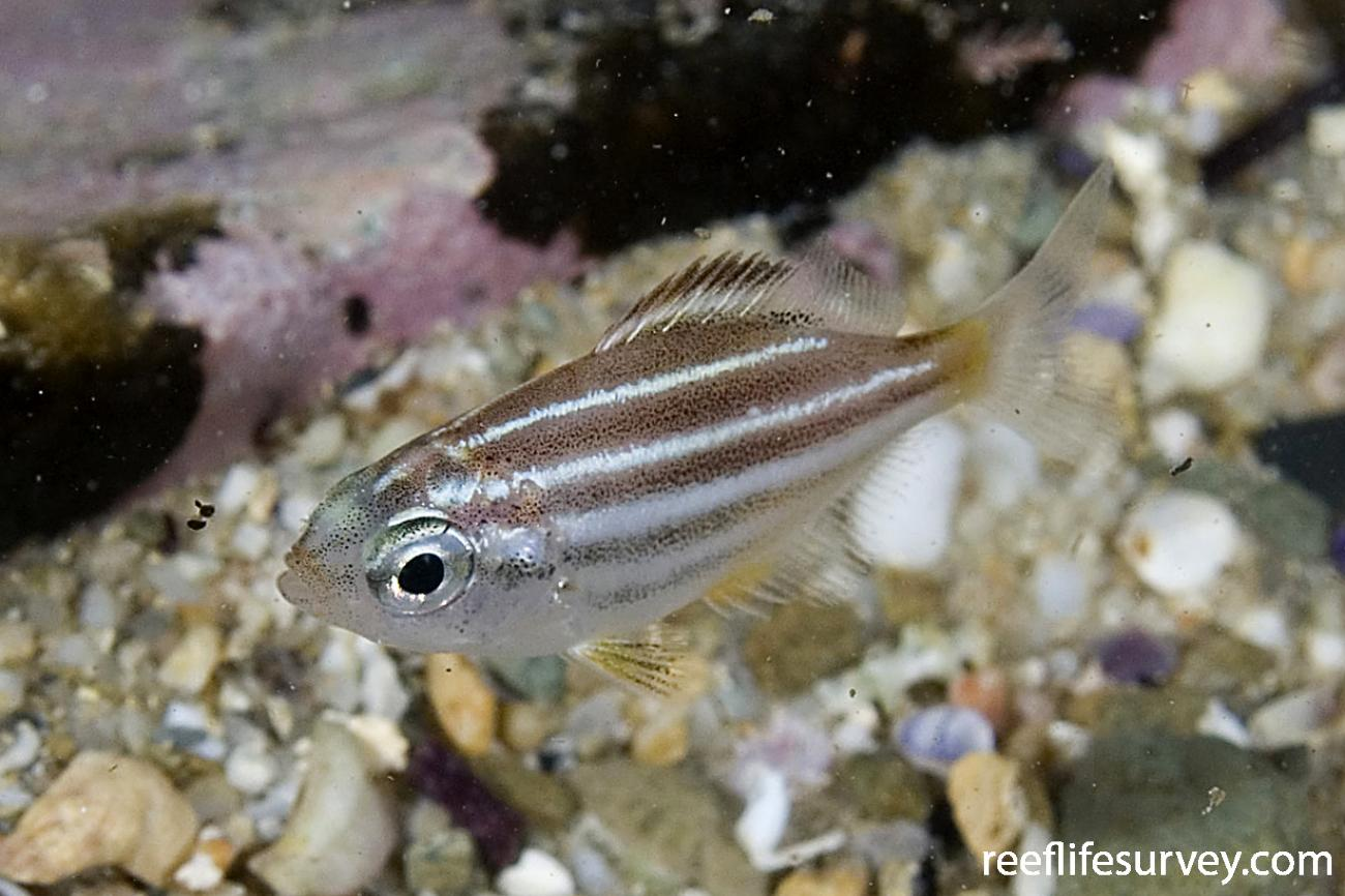 Atypichthys strigatus, Juvenile, Bermagui, NSW,  Photo: Andrew Green