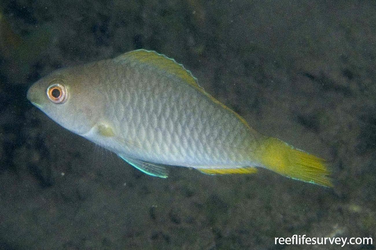 Scarus flavipectoralis, Raja Ampat, Indonesia,  Photo: Andrew Green