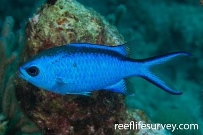 Chromis cyanea: Turks & Caicos,  Photo: Rick Stuart-Smith