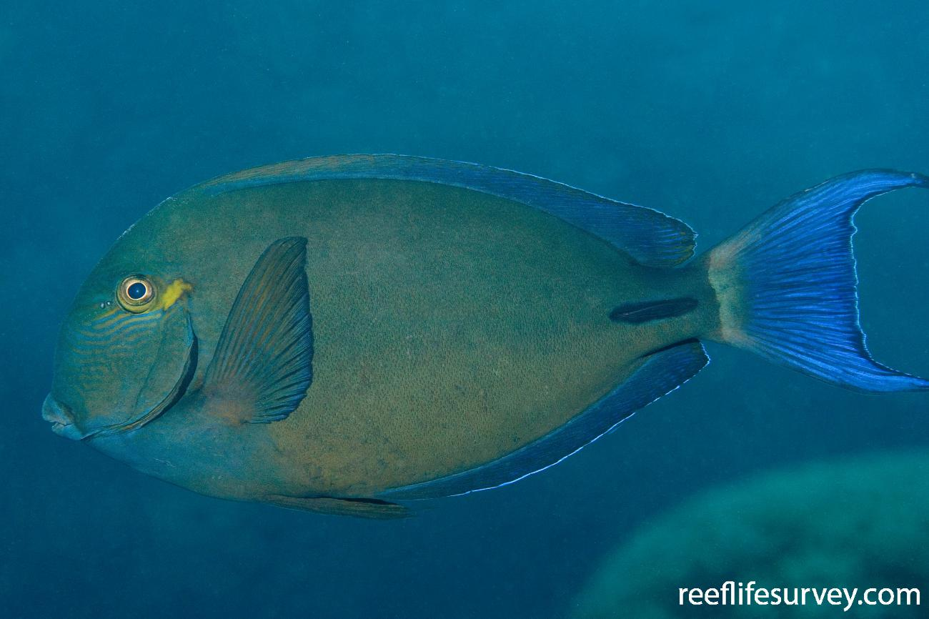 Acanthurus blochii, Great Barrier Reef, Cairns, Qld,  Photo: Andrew Green