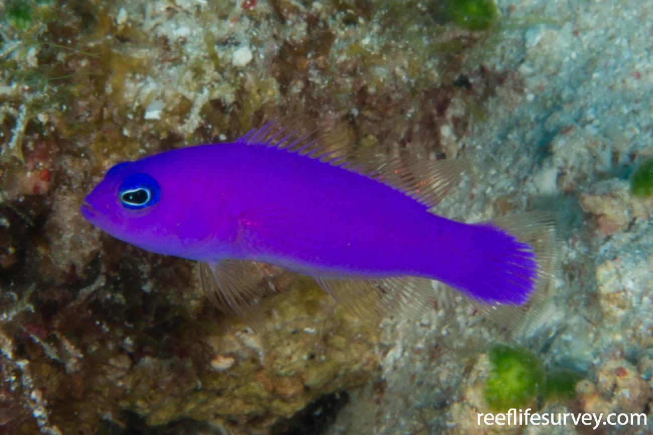 Pictichromis porphyrea, Raja Ampat, Indonesia,  Photo: Rick Stuart-Smith