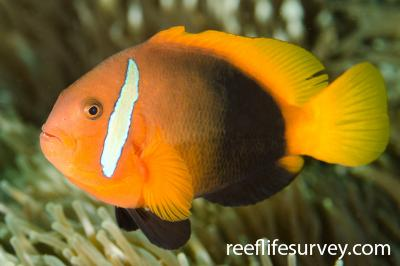 Amphiprion melanopus: NSW, Australia,  Photo: Ian Shaw