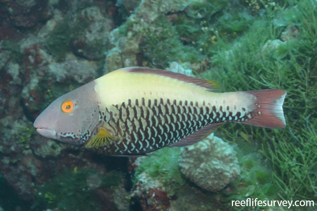 Cetoscarus ocellatus, Intermediate stage. Cook Islands,  Photo: Graham Edgar