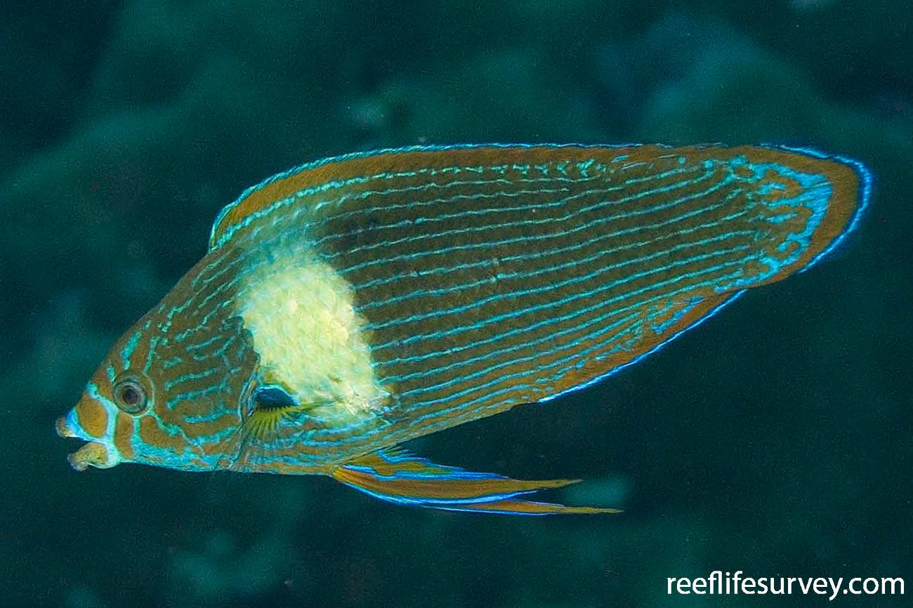 Labrichthys unilineatus, Male, Raja Ampat, Indonesia,  Photo: Andrew Green