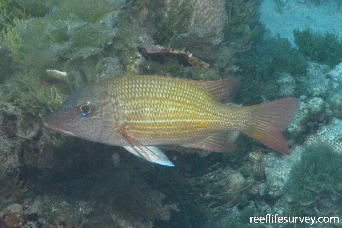 Lethrinus erythracanthus, Juvenile.