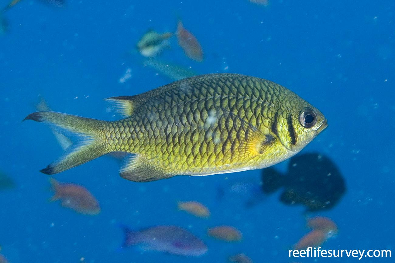 Chromis weberi, Adult, Naigani Is, Fiji,  Photo: Andrew Green