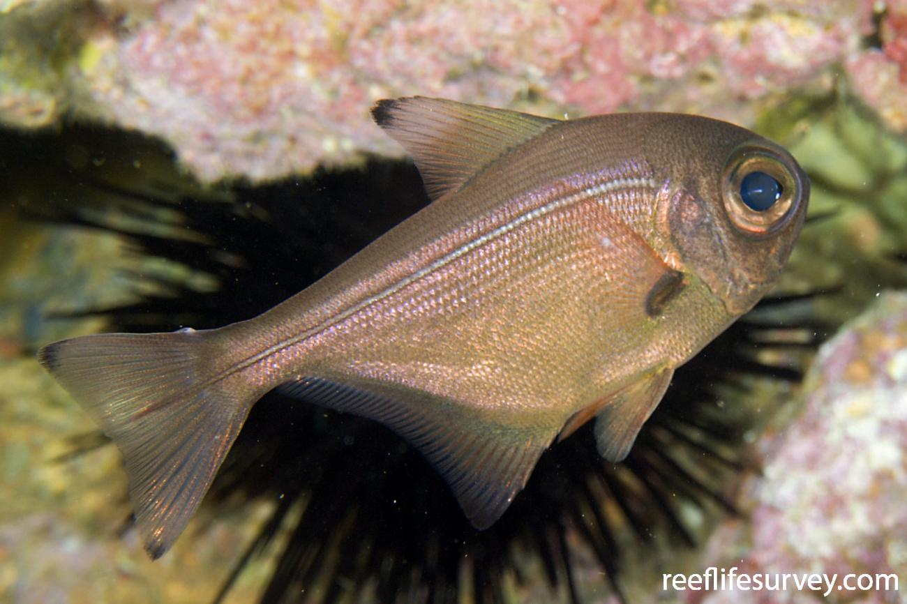 Pempheris adspersa, Adult, Poor Knights Is, New Zealand,  Photo: Andrew Green