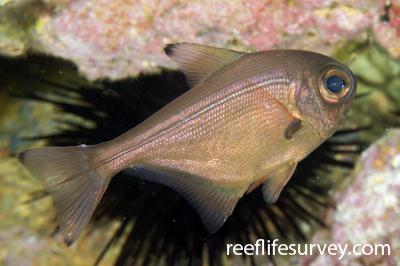 Pempheris adspersa: Adult, Poor Knights Is, New Zealand,  Photo: Andrew Green