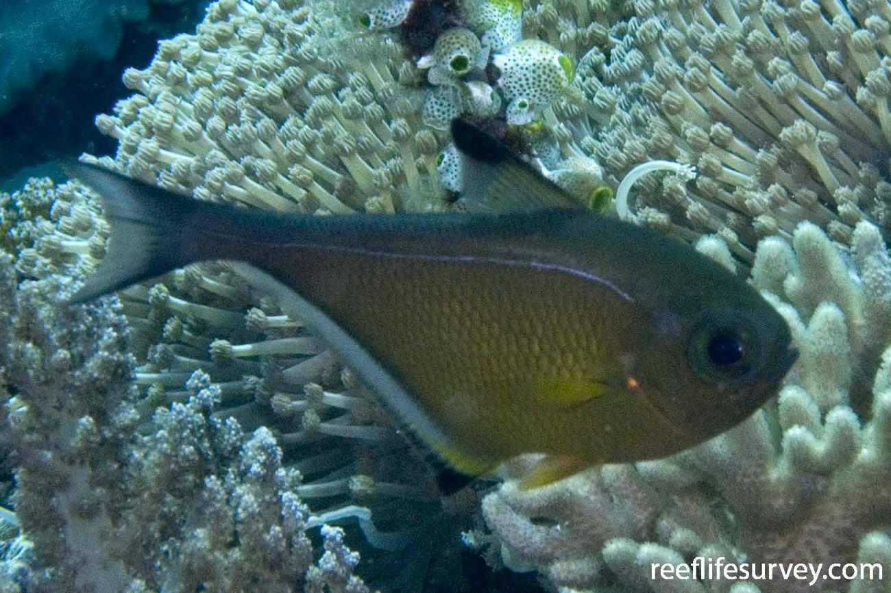 Pempheris vanicolensis, Raja Ampat, Indonesia,  Photo: Andrew Green