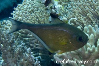 Pempheris vanicolensis: Raja Ampat, Indonesia,  Photo: Andrew Green