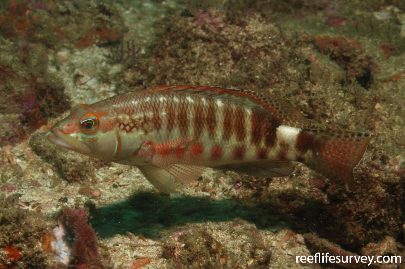 Serranus psittacinus, Machalilla, Ecuador,  Photo: Graham Edgar