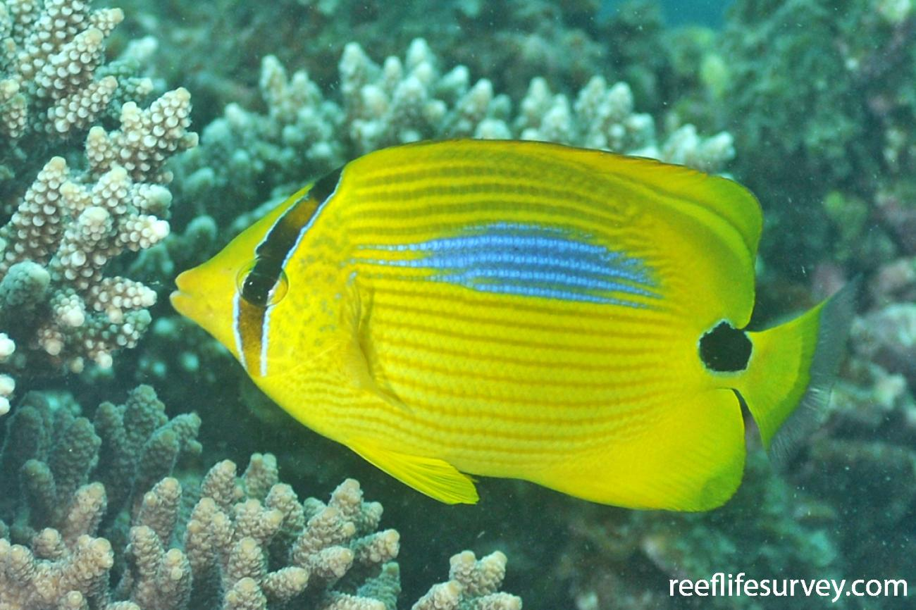 Chaetodon plebeius, Adult, Ningaloo Reef, Australia,  Photo: Rick Stuart-Smith