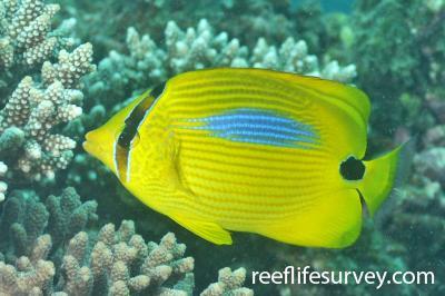 Chaetodon plebeius: Adult, Ningaloo Reef, Australia,  Photo: Rick Stuart-Smith