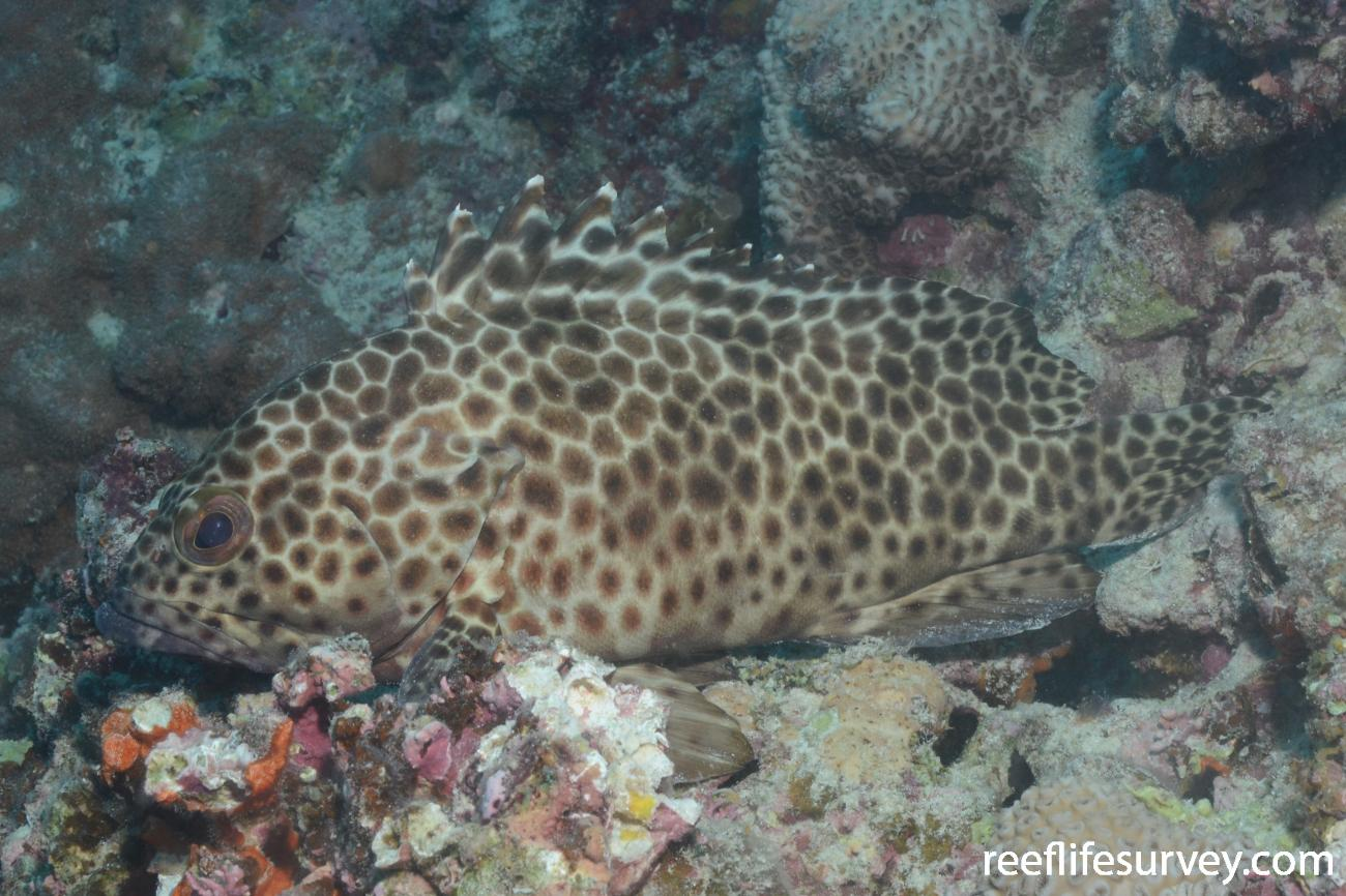 Epinephelus quoyanus, Southern Great Barrier Reef, Australia,  Photo: Graham Edgar