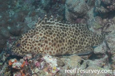 Epinephelus quoyanus: Southern Great Barrier Reef, Australia,  Photo: Graham Edgar
