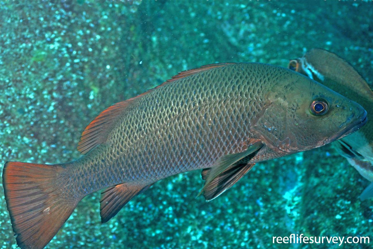 Lutjanus argentimaculatus, Adult.  Photo: Rick Stuart-Smith