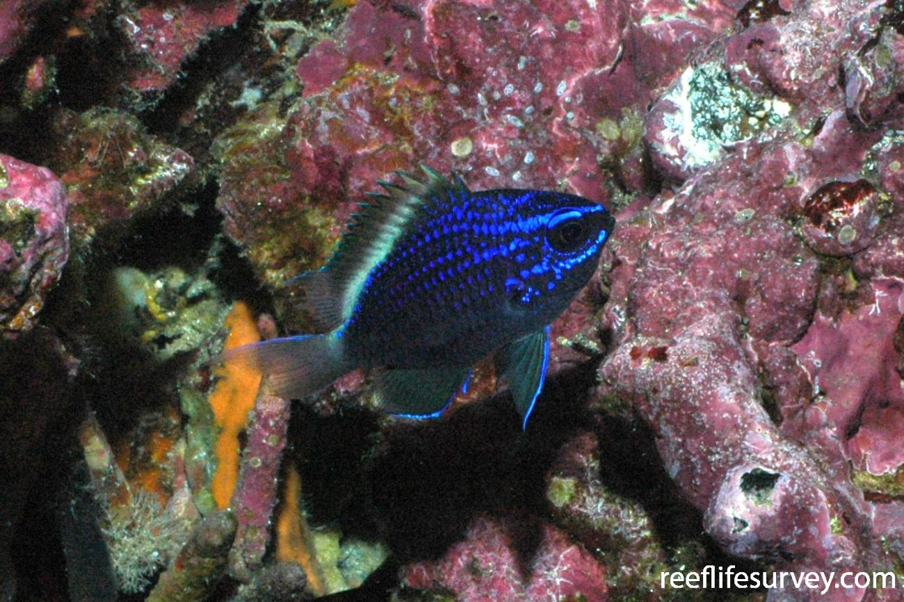 Chromis alta, Galapagos Islands, Ecuador,  Photo: Graham Edgar