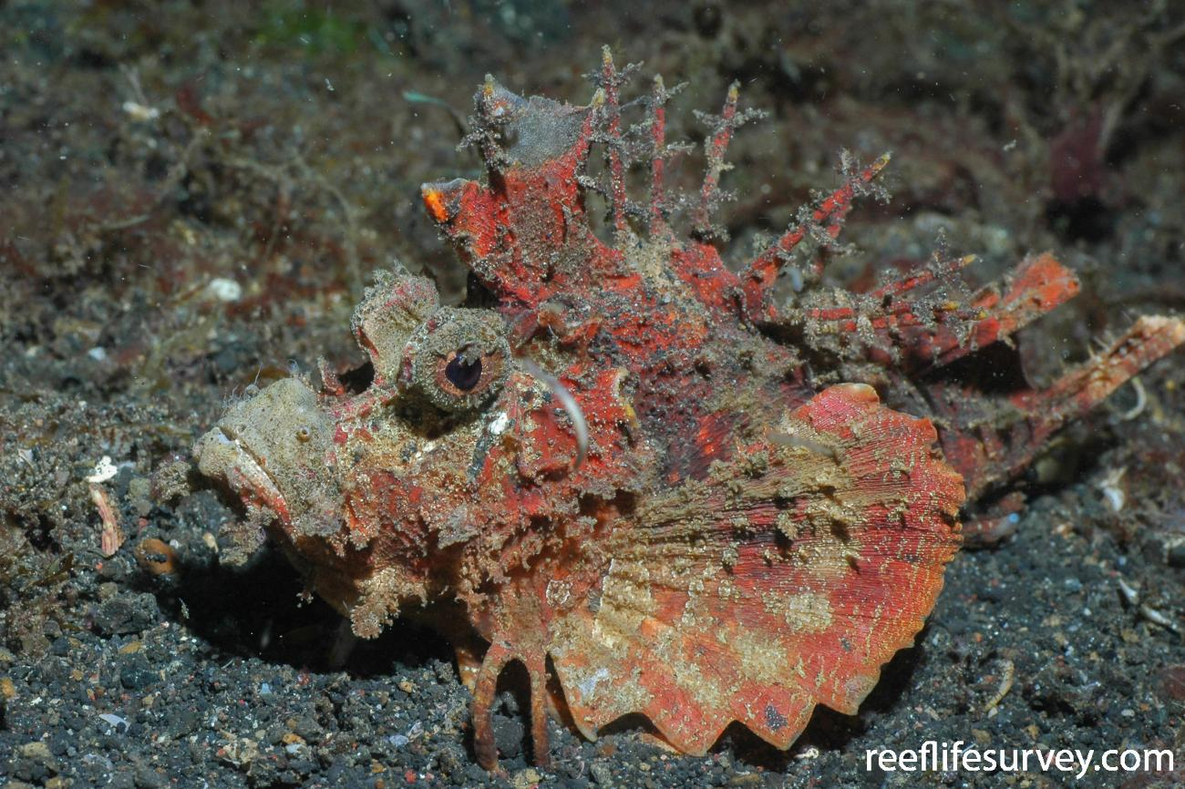 Inimicus didactylus, Sulawesi, Indonesia,  Photo: Graham Edgar