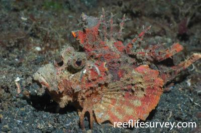 Inimicus didactylus: Sulawesi, Indonesia,  Photo: Graham Edgar
