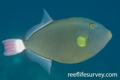 Melichthys vidua: Adult, Bali, Indonesia,  Photo: Ian Shaw