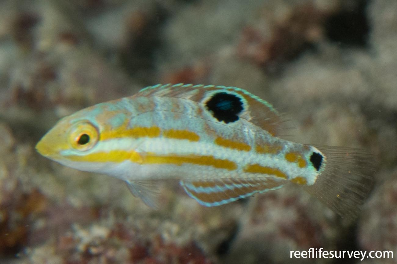 Halichoeres radiatus, Juvenile, Belize,  Photo: Rick Stuart-Smith