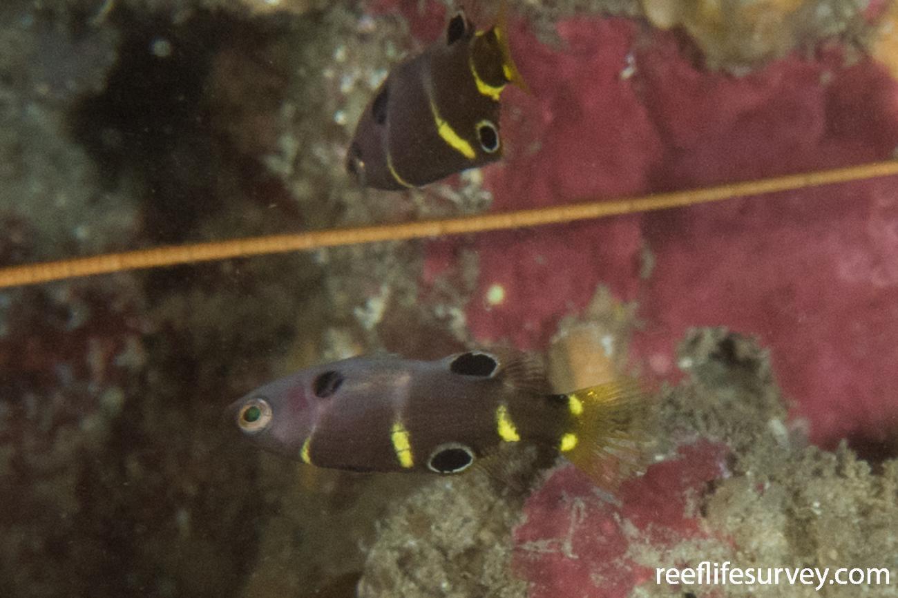 Bodianus frenchii, Juvenile, Rottnest Is, WA,  Photo: Rick Stuart-Smith