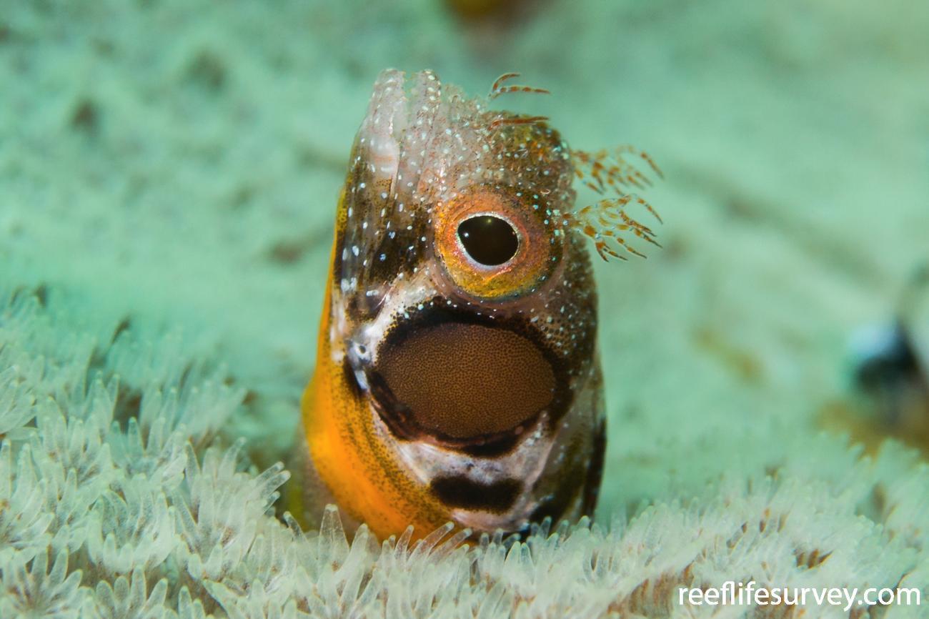 Acanthemblemaria crockeri, Gulf of California, Mexico,  Photo: Rick Stuart-Smith