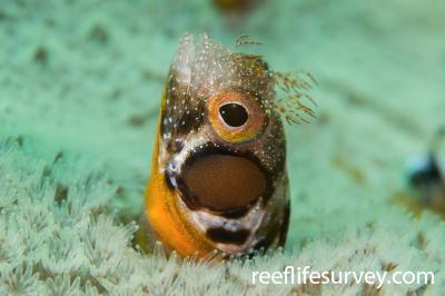 Acanthemblemaria crockeri: Gulf of California, Mexico,  Photo: Rick Stuart-Smith