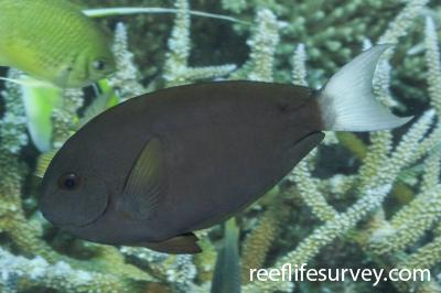 Acanthurus thompsoni: Maldives,  Photo: Rick Stuart-Smith