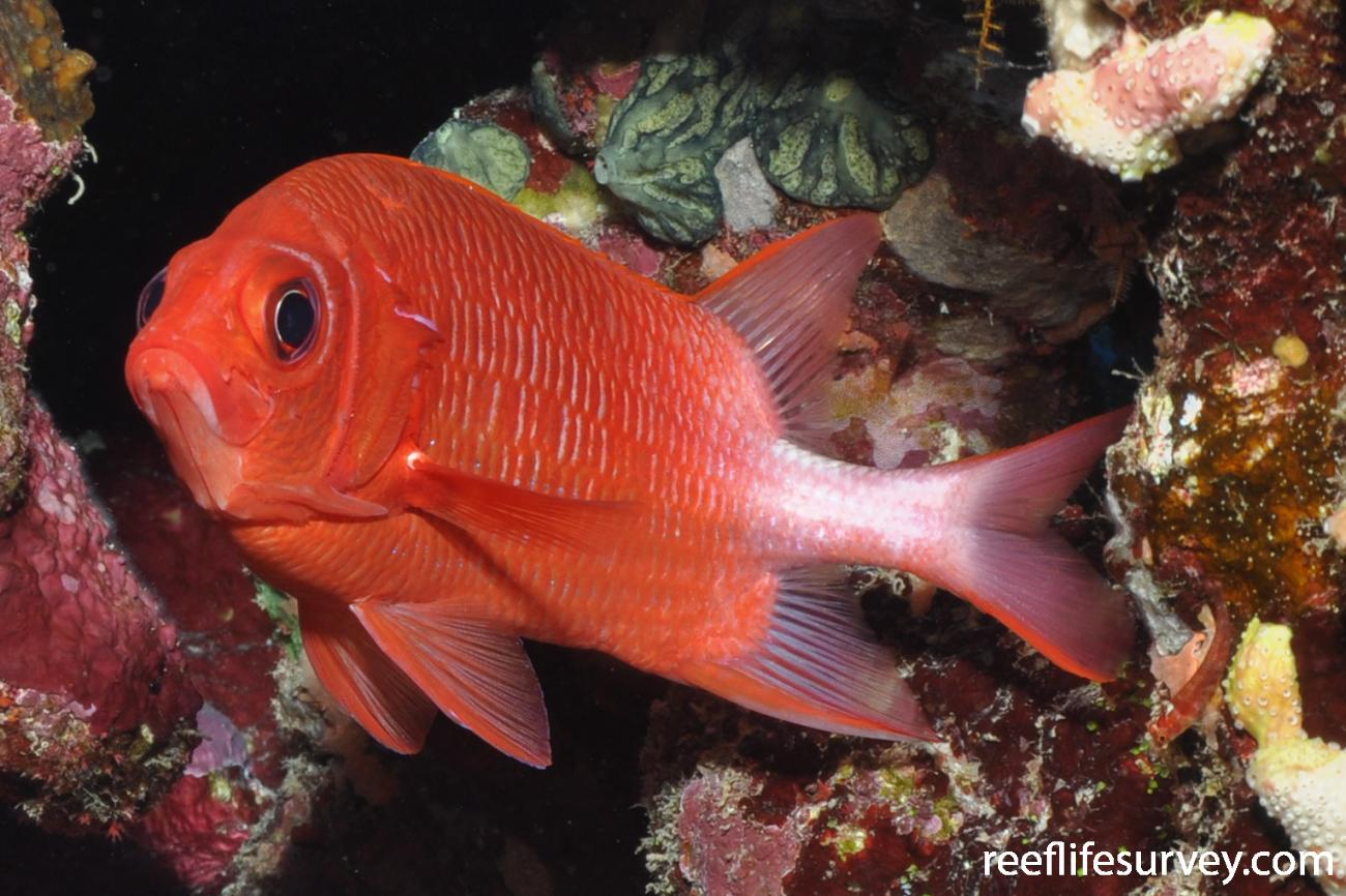 Sargocentron caudimaculatum, Red Sea,