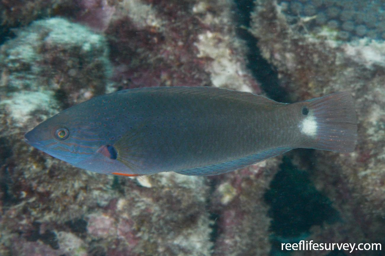 Halichoeres melanochir, Ningaloo Reef, WA,  Photo: Rick Stuart-Smith