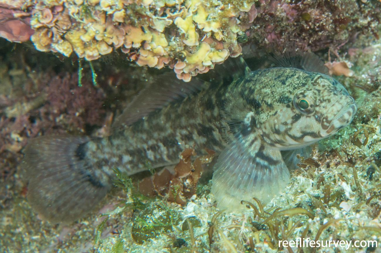 Gobius paganellus, Vigo,  Photo: Rick Stuart-Smith