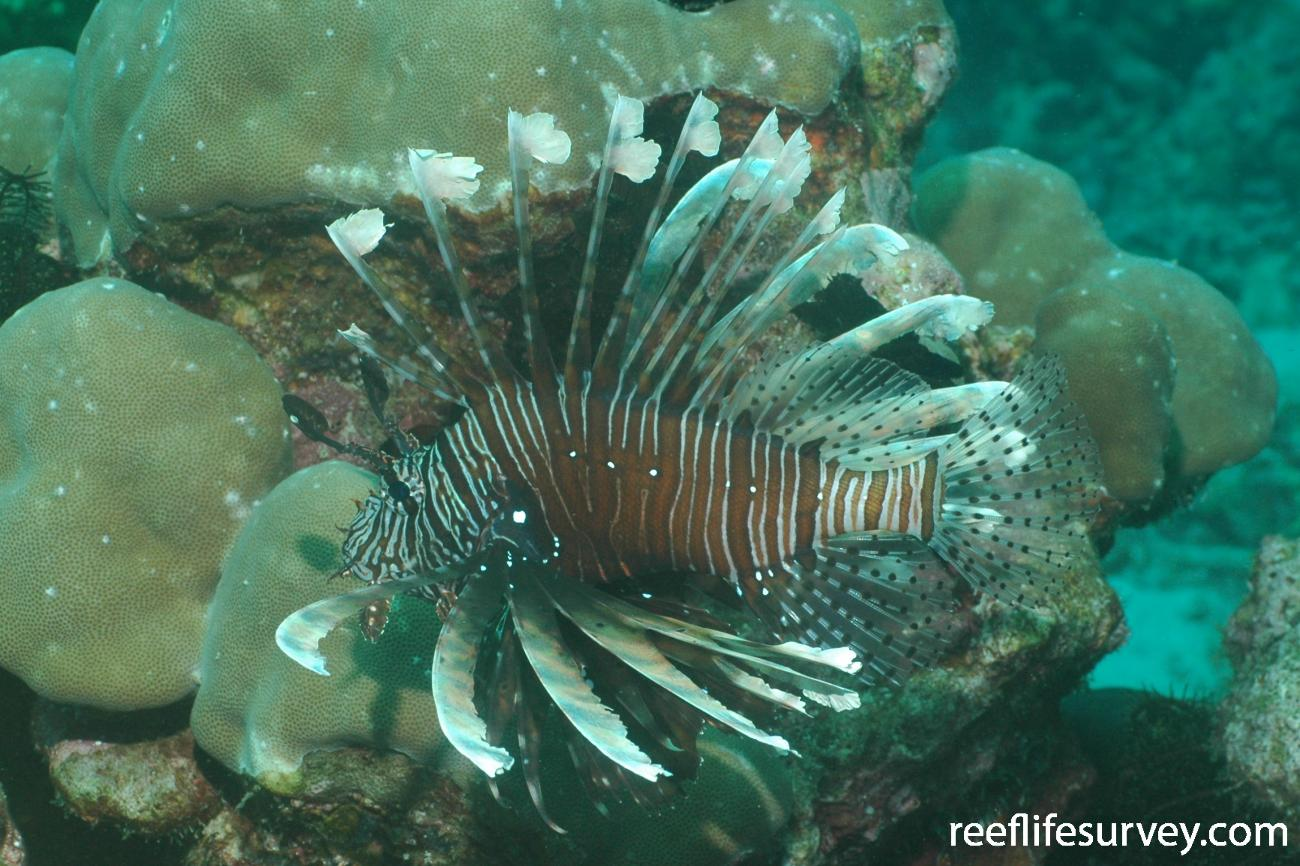 Pterois miles, Indonesia,