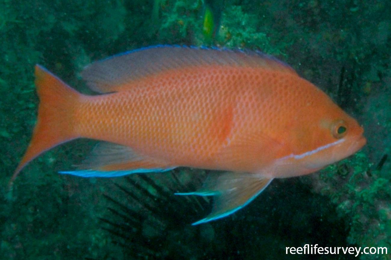 Pseudanthias rubrizonatus, Male, NSW, Australia,  Photo: Tom Davis
