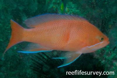 Pseudanthias rubrizonatus: Male, NSW, Australia,  Photo: Tom Davis
