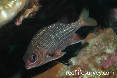 Sargocentron suborbitalis: Costa Rica,  Photo: Graham Edgar